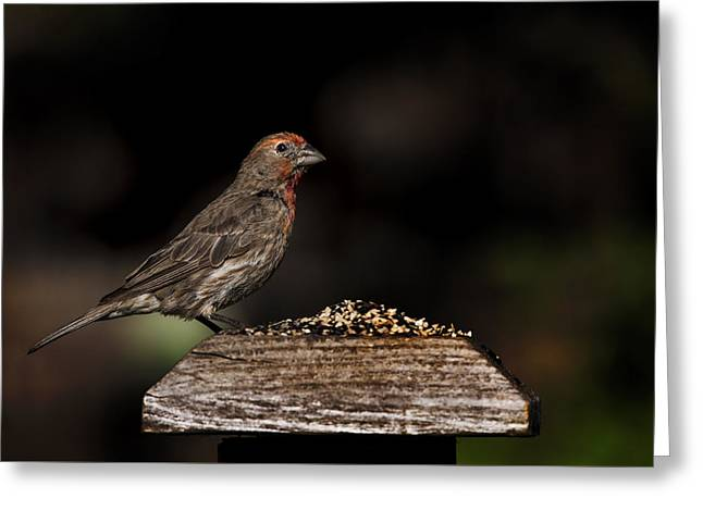 Biology Greeting Cards - Finch on a Fence Greeting Card by K Powers  Photography