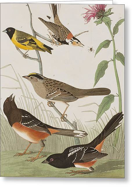 Crowned Head Greeting Cards - Finches Greeting Card by John James Audubon
