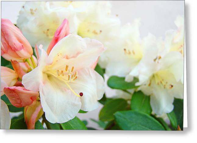Rhodie Greeting Cards - Fine Art Florals Prints White Pink Rhodies Rhododendrons Baslee Troutman Greeting Card by Baslee Troutman