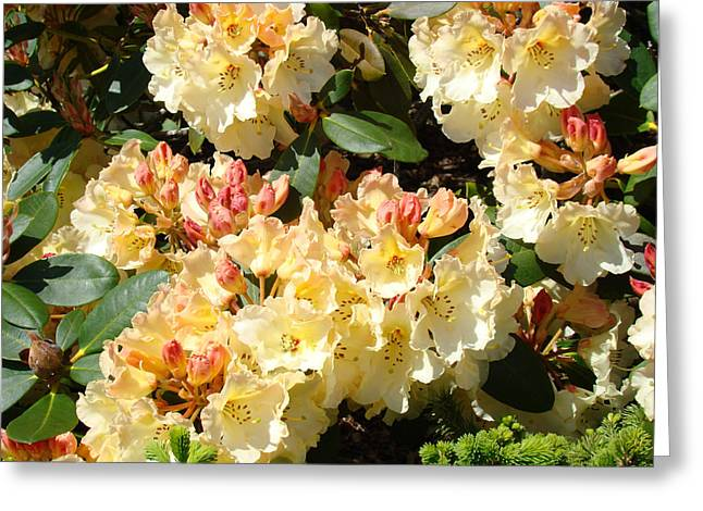Rhodie Greeting Cards - Fine Art Prints Rhodies Floral Canvas Yellow Rhododendrons Baslee Troutman Greeting Card by Baslee Troutman