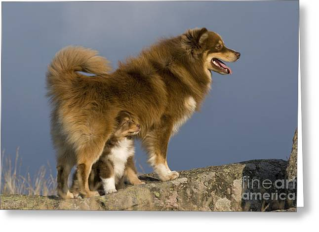 Watchdog Greeting Cards - Finnish Lapphund And Pup Greeting Card by Jean-Louis Klein & Marie-Luce Hubert