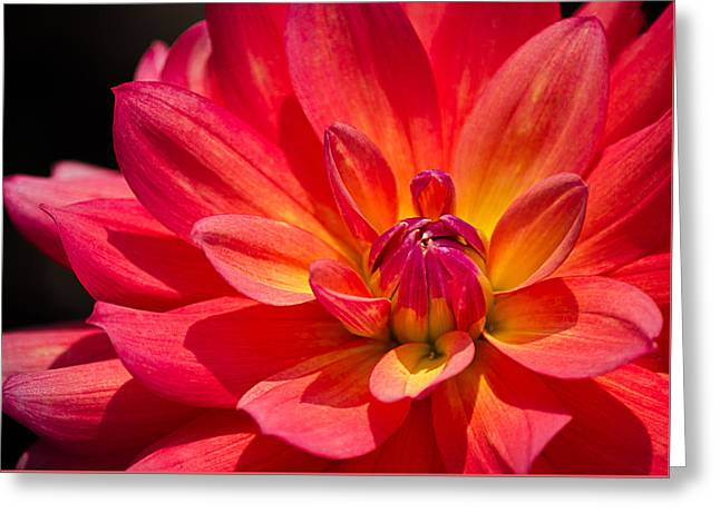 Fireboat Greeting Cards - Fire Pot Dahlia Greeting Card by Julie Palencia