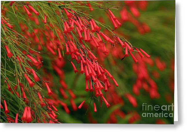 Firecracker Greeting Cards - Firecracker Plant Greeting Card by Ron Dahlquist - Printscapes