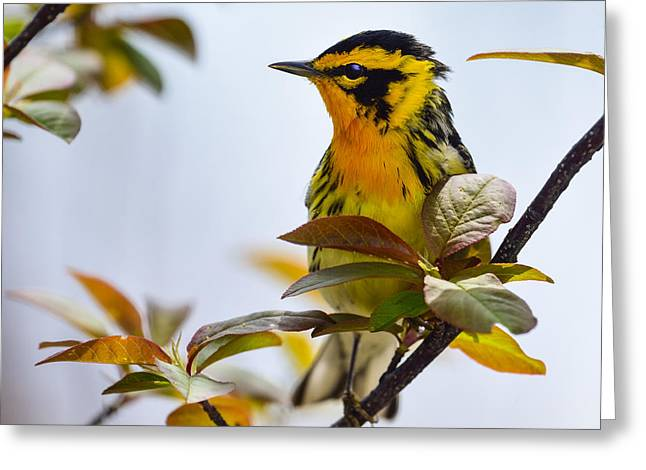 Wood Warbler Greeting Cards - Firethroat Greeting Card by Tony Beck