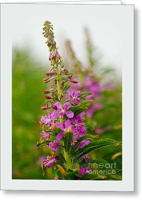 Beach Photography Greeting Cards - Fireweed Macro Greeting Card by Nick  Boren