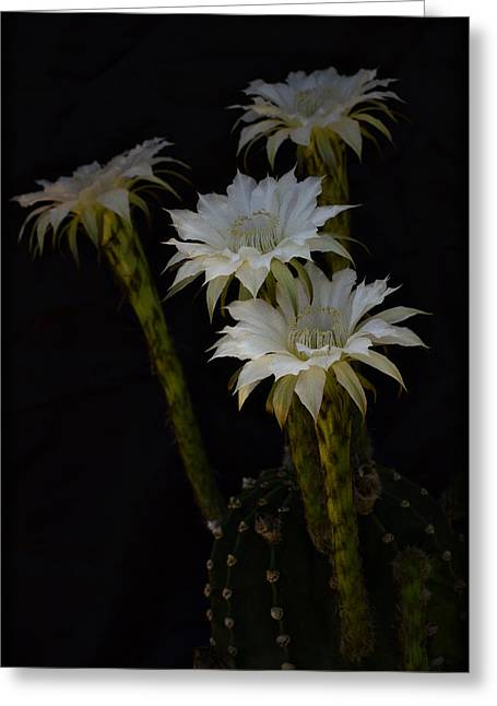 White Cactus Flower Greeting Cards - Fireworks  Greeting Card by Saija  Lehtonen