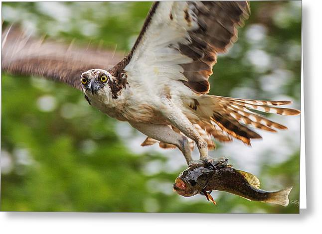 Osprey Photographs Greeting Cards - First Flight Last Flight Greeting Card by Everet Regal
