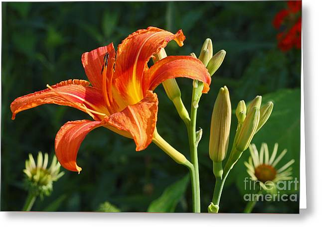 First Flower On This Lily Plant Greeting Card by Steve Augustin