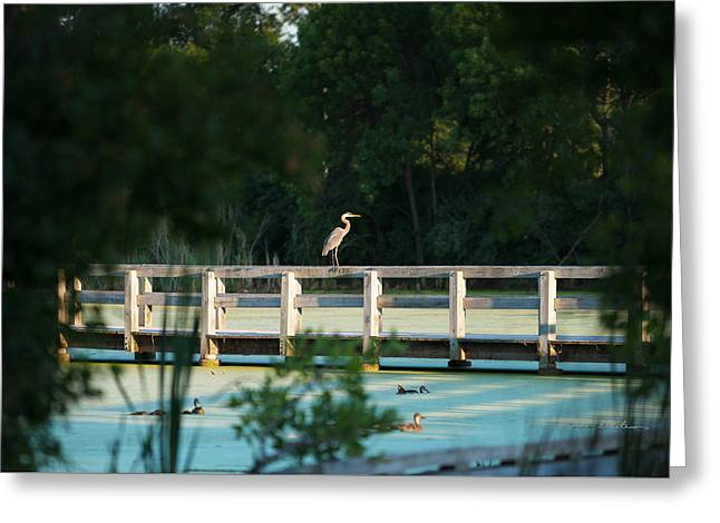 Aquatic Greeting Cards - First Glimpse Great Blue Heron Greeting Card by Edward Peterson
