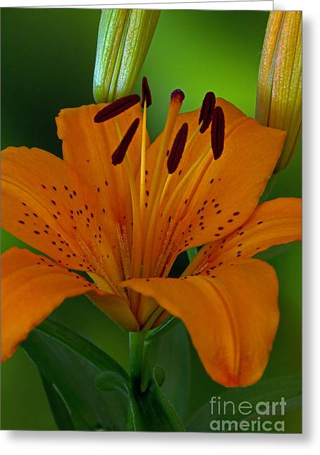 Day Lilly Greeting Cards - First Orange Bloom Greeting Card by Robert Pilkington