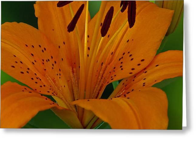 First Orange Bloom Greeting Card by Robert Pilkington