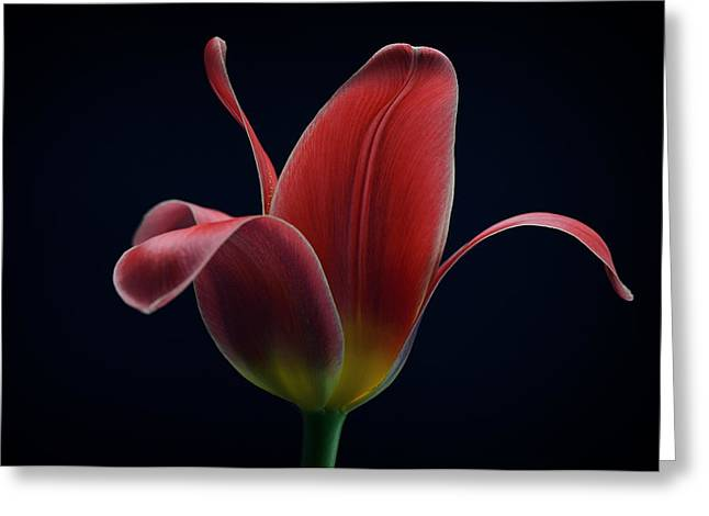 First Tulip Greeting Card by Lotte Gr?nkj?r