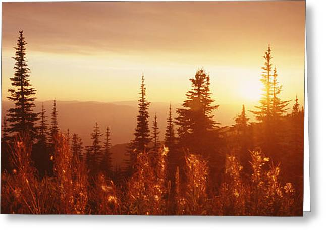 Tree Lines Greeting Cards - Firweed At Sunset, Whitefish, Montana Greeting Card by Panoramic Images