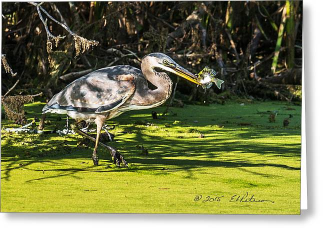 Aquatic Greeting Cards - Fish Catches A Great Blue Heron Greeting Card by Edward Peterson