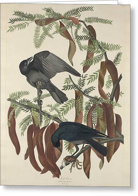 Raven Drawings Greeting Cards - Fish Crow Greeting Card by John James Audubon