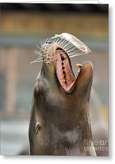 Sea Lions Greeting Cards - Fish Dinner Greeting Card by Tim Sevcik