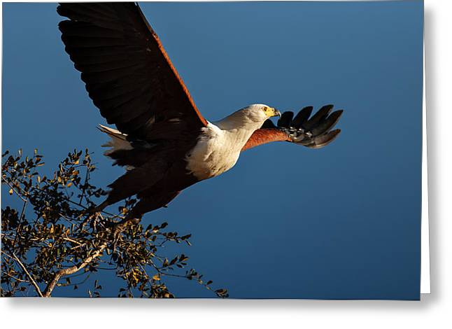 Spreading Greeting Cards - Fish Eagle taking flight Greeting Card by Johan Swanepoel