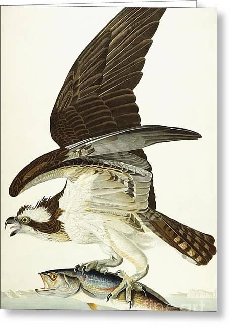 Fish Hawk Greeting Card by John James Audubon