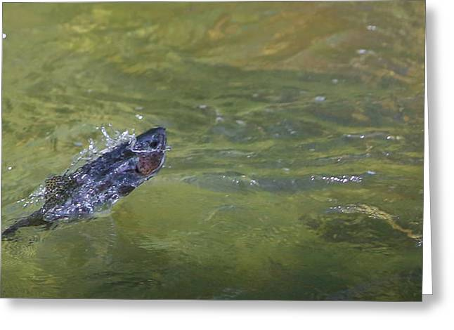 Rainbow Trout Greeting Cards - Fish Outa Water Greeting Card by Christine Bakke