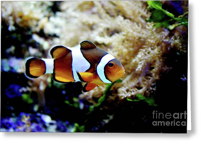 Reef Fish Photographs Greeting Cards - Fish stripes Clownfish Greeting Card by Toni Hopper