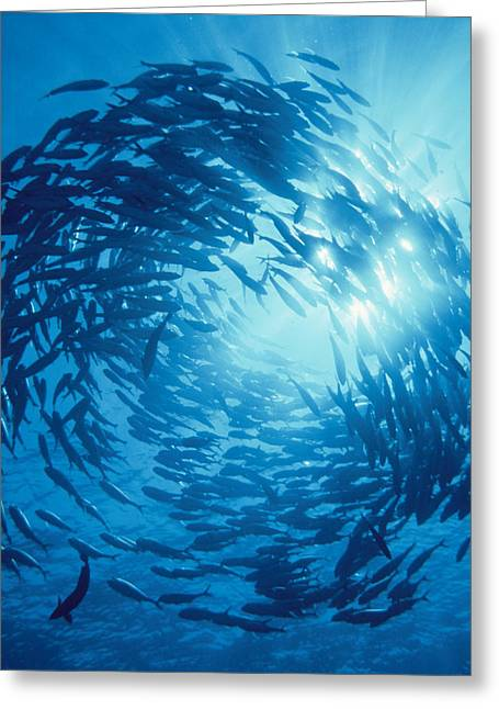 Groups Of Animals Greeting Cards - Fishes Swarm Underwater Greeting Card by Panoramic Images