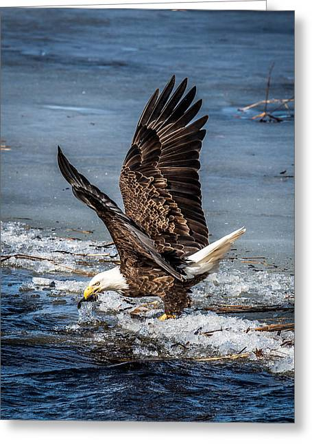 Eagles In Flight Greeting Cards - Fishing Bald Eagle Greeting Card by Paul Freidlund