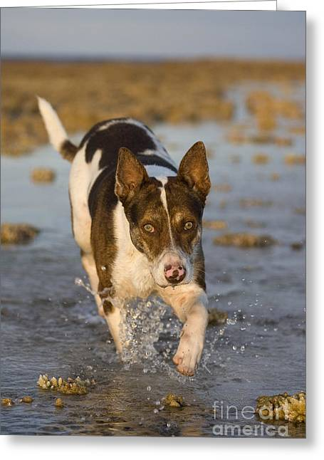 Dog Trots Photographs Greeting Cards - Fishing Dog Of Polynesia Greeting Card by Jean-Louis Klein & Marie-Luce Hubert