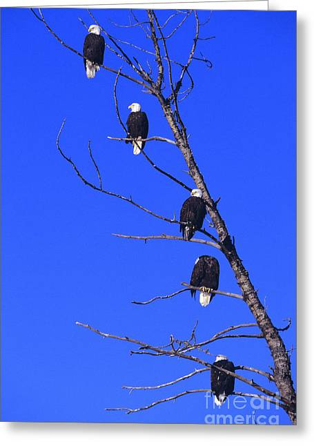 Animal Patriotic Art Greeting Cards - Five Bald Eagles Greeting Card by John Hyde - Printscapes