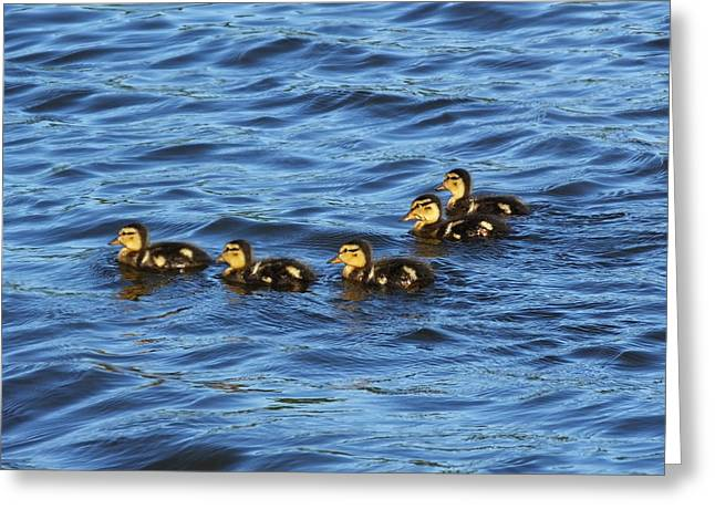 Underwater Photos Greeting Cards - Five Little Ducklings Greeting Card by Francie Davis