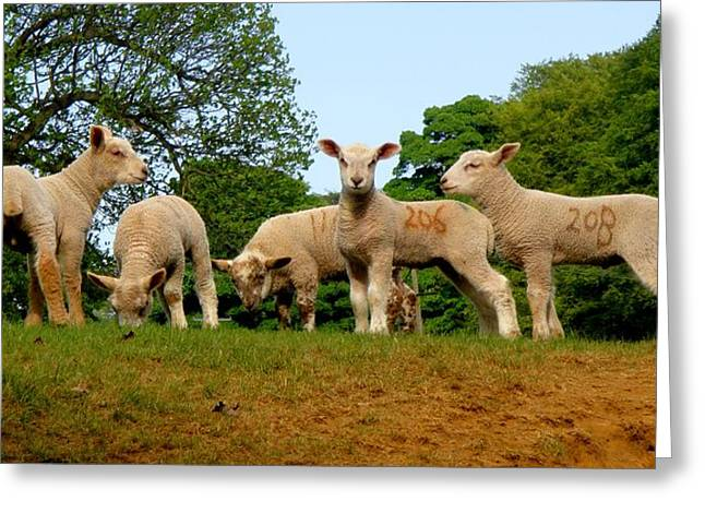 Roberto Alamino Greeting Cards - Five Little Lambs Greeting Card by Roberto Alamino
