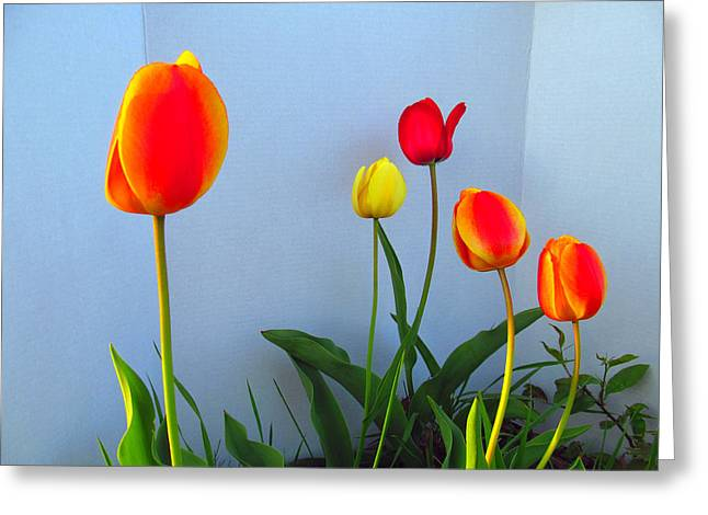 Indiana Flowers Greeting Cards - Five Tulips Greeting Card by Tina M Wenger