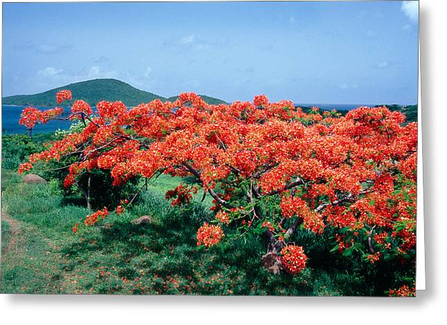 Botanical Beach Greeting Cards - Flamboyan Tree in Bloom Culebra Puerto Rico Greeting Card by George Oze