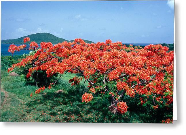 Lush Vegetation Greeting Cards - Flamboyan Tree in Bloom Culebra Puerto Rico Greeting Card by George Oze