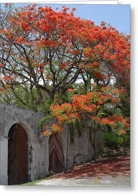 Tropical Island Greeting Cards - Flamboyant Tree in Dominica Greeting Card by Tropical Ties Dominica