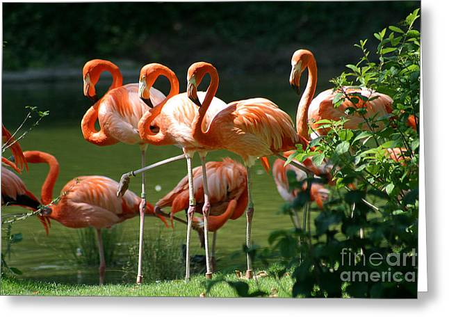 Water Fowl Greeting Cards - Flamingo-1 Greeting Card by Gary Gingrich Galleries