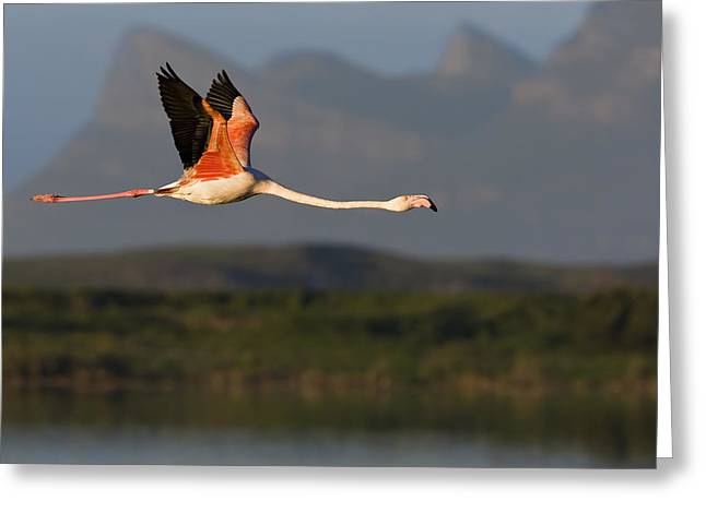 Fly In Greeting Cards - Flamingo Flight Greeting Card by Basie Van Zyl