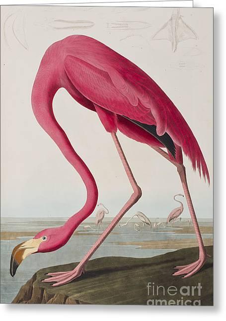Flamingo Greeting Card by John James Audubon