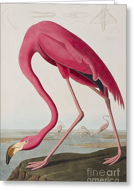 Birds Drawings Greeting Cards - Flamingo Greeting Card by John James Audubon