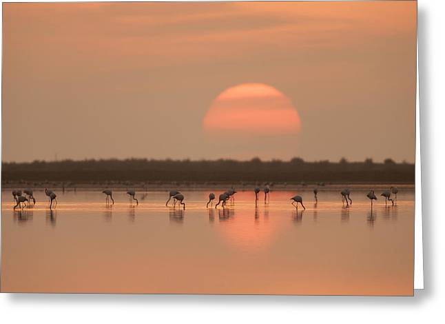 Flamingos At Sunrise Greeting Card by Joan Gil Raga