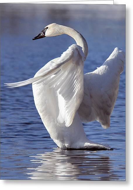Larry Ricker Greeting Cards - Flapping Swan Greeting Card by Larry Ricker