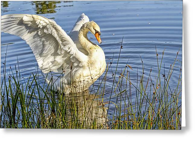 Swans... Greeting Cards - Flapping Wings Mute Swan Greeting Card by Geraldine Scull