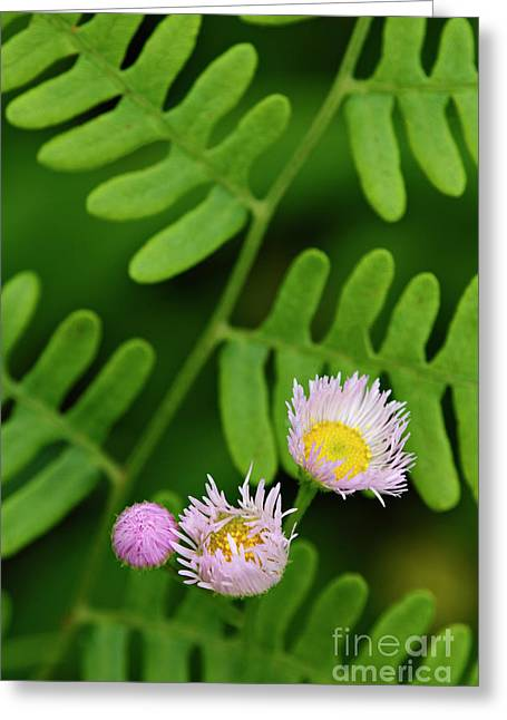 Visitor Center Greeting Cards - Fleabane and Fern - D001839 Greeting Card by Daniel Dempster