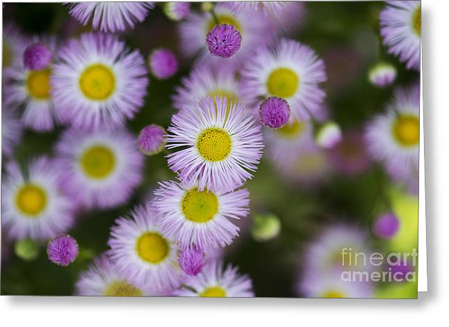 Fleabane Daises Greeting Card by Tim Gainey
