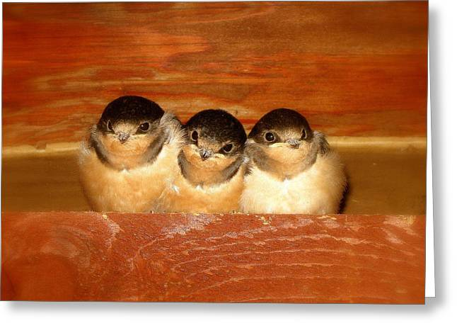 Swallow Nestlings Greeting Cards - Fledgling Innocence  Greeting Card by Kat Mattice