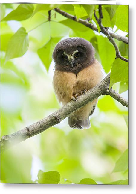 Fledglings Greeting Cards - Fledgling Saw-whet Owl Greeting Card by Tim Grams