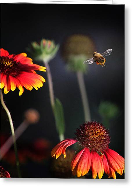 Flight Of A Honey Bee Greeting Card by Joseph G Holland