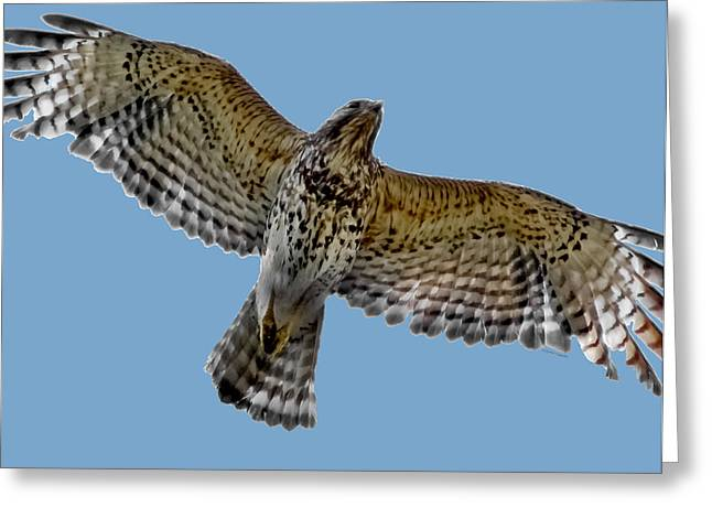 Hawk Hill Greeting Cards - Flight of the Red Shouldered Hawk Greeting Card by DigiArt Diaries by Vicky B Fuller