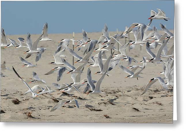 Flight Of The Terns Greeting Card by Fraida Gutovich