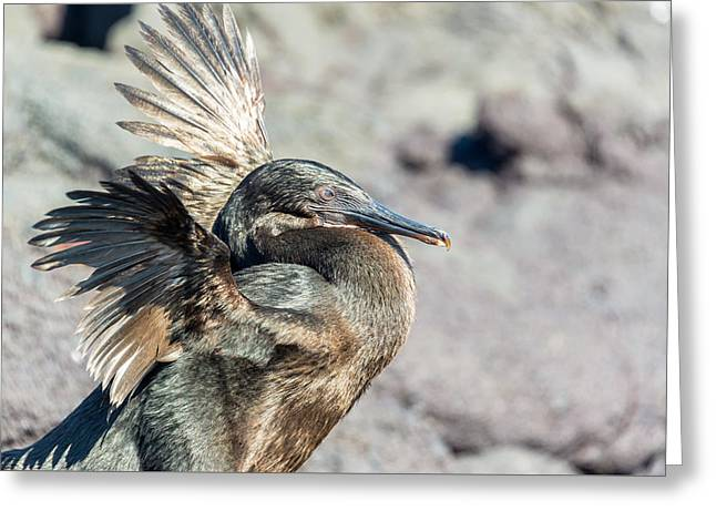 Flightless Greeting Cards - Flightless Cormorant Closeup Greeting Card by Jess Kraft
