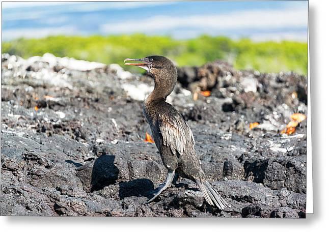 Flightless Greeting Cards - Flightless Cormorant in Galapagos Greeting Card by Jess Kraft